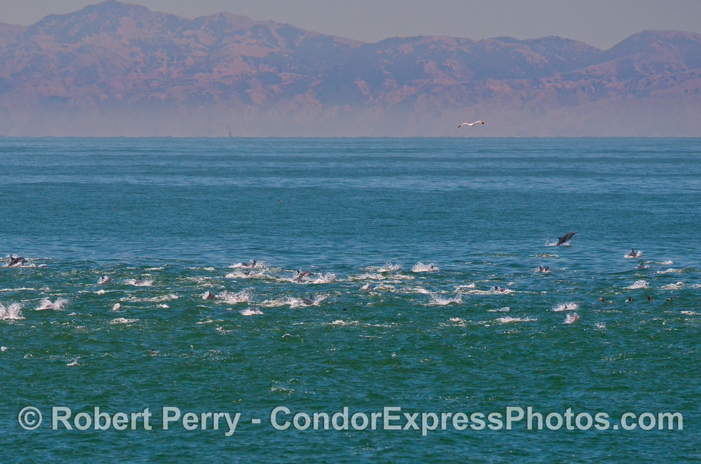 Delphinus capensis masses Sta Cruz in back 2013 06-26 SB Channel-011