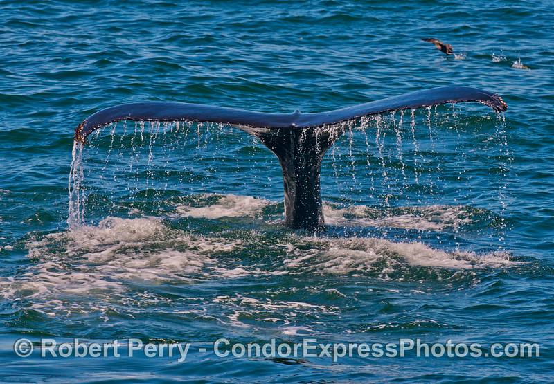 Tail fluke waterfall - a humpback whale (<em>Megaptera novaeangliae</em>).