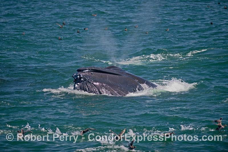 Image 2 of 2:  A surface lunge feeding humpback whale (<em>Megaptera novaeangliae</em>).