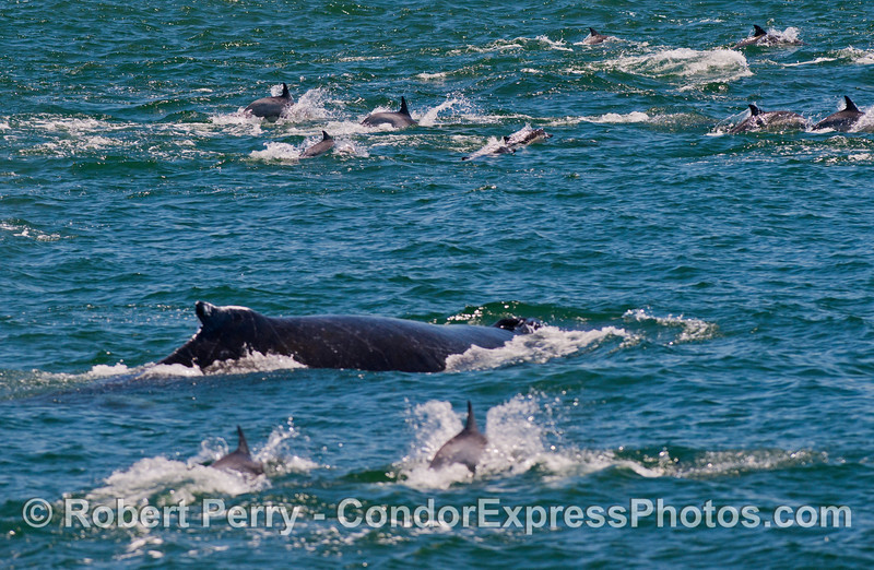 A humpback whale (<em>Megaptera novaeangliae</em>) is surrounded by a herd of common dolphins (<em>Delphinus capensis</em>).