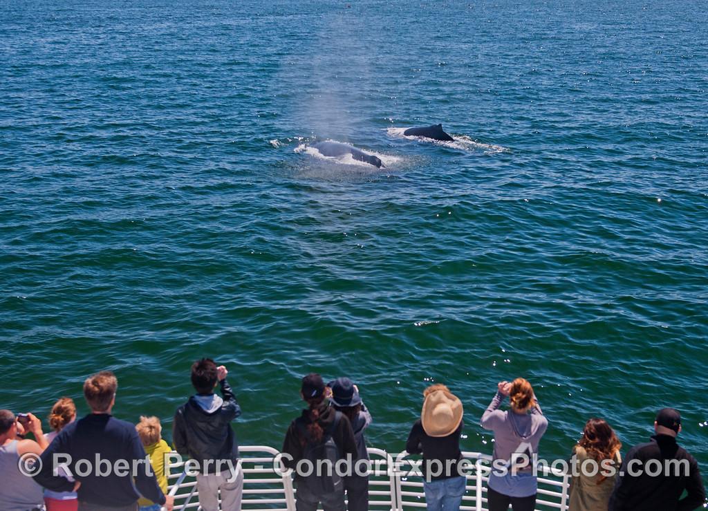 Two friendly humpback whales (<em>Megaptera novaeangliae</em>) come close to the Condor Express.