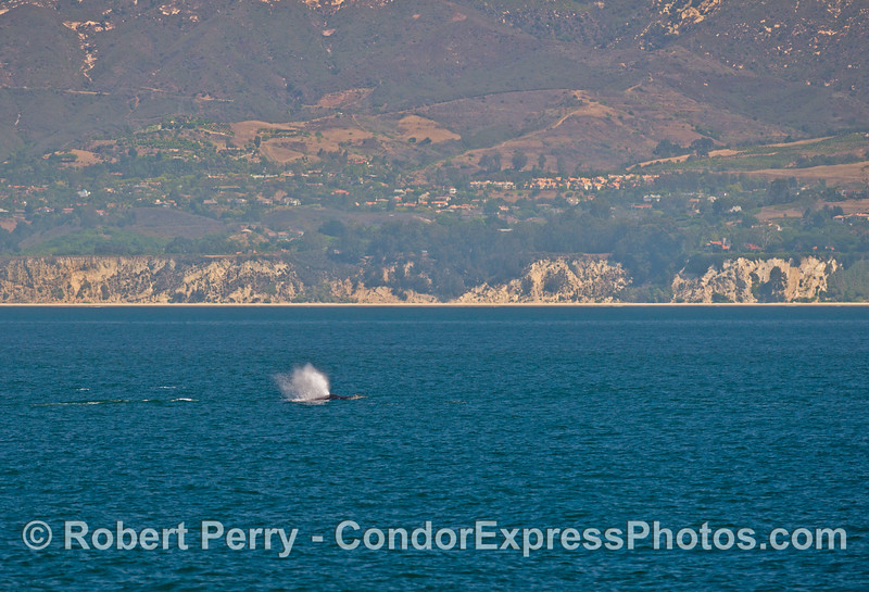 A group of humpback whales (<em>Megaptera novaeangliae</em>) travels east along the western Santa Barbara coast.