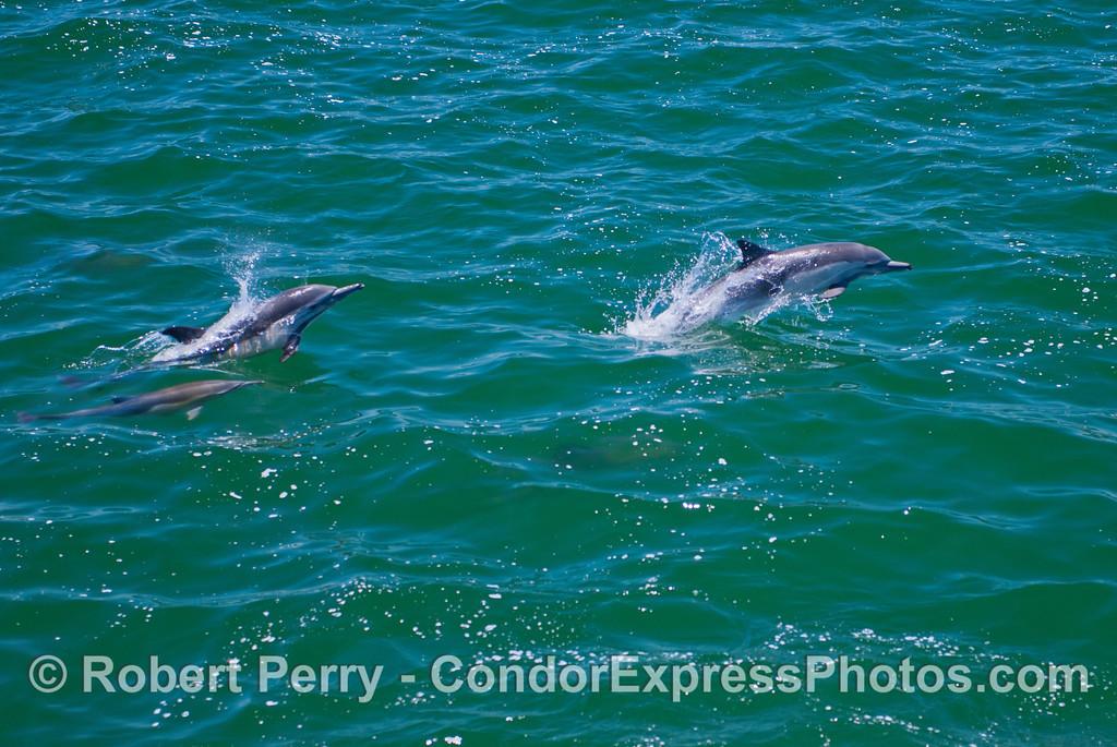 Delphinus capensis 2013 06-26 SB Channel-035
