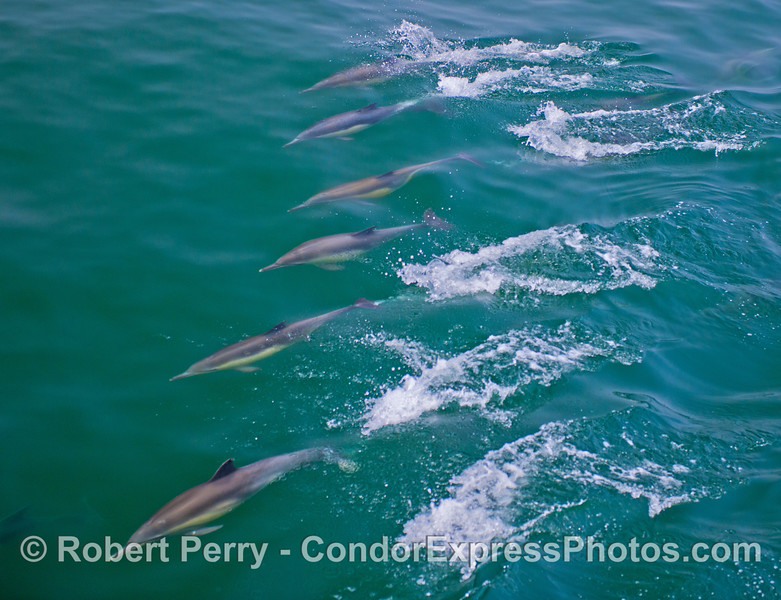 A cascade of six long beaked common dolphins (<em>Delphinus capensis</em>) zoom across the top of an open ocean wave in synchrony.