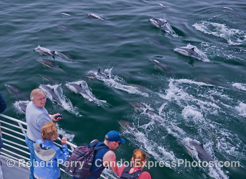 Condor Express people enjoy being watched by a nice herd of long beaked common dolphins (<em>Delphinus capensis</em>).