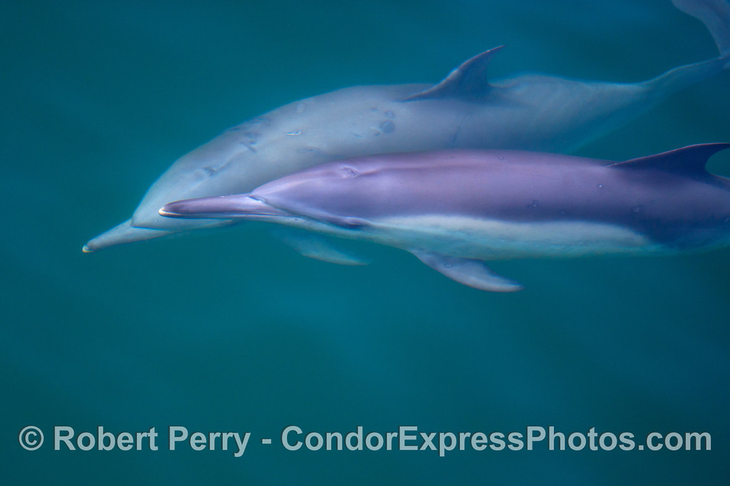 Two curious long beaked common dolphins (<em>Delphinus capensis</em>) are seen underwater.
