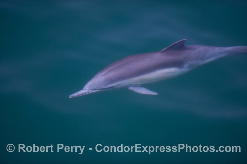 Underwater view of a long beaked common dolphin (<em>Delphinus capensis</em>).