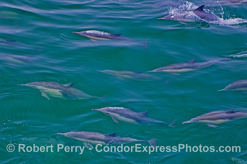 Long beaked common dolphins (<em>Delphinus capensis</em>) flow past the boat like a living river of mammals.