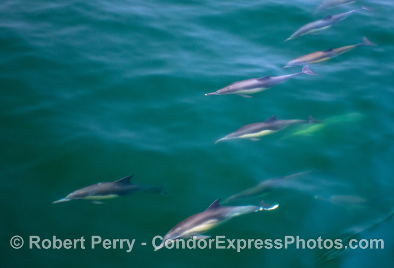 Underwater views of long beaked common dolphins (<em>Delphinus capensis</em>).