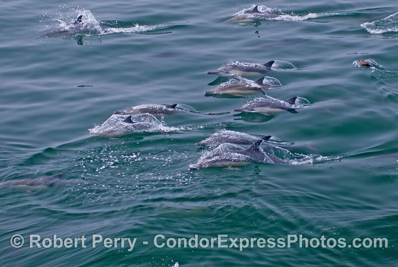 A group of long beaked common dolphins (<em>Delphinus capensis</em>) all break the surface simultaneously.