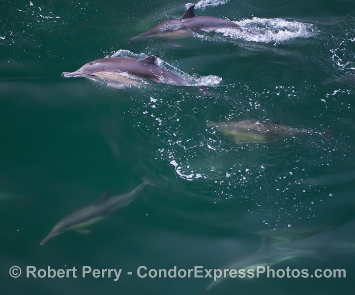 Long beaked common dolphins (<em>Delphinus capensis</em>) .