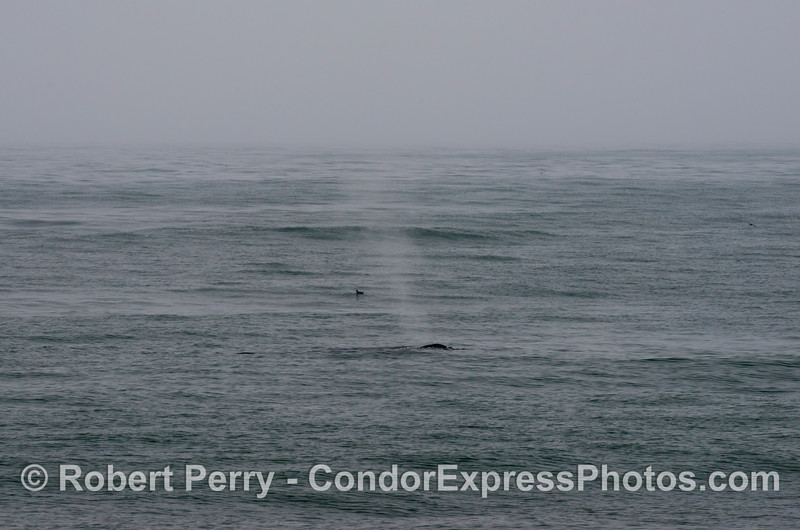 A  humpback whale (<em>Megaptera novaeangliae</em>)  and a lone sooty shearwater (<em>Puffinus griseus</em>) in the fog.