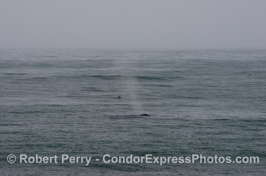 A  humpback whale (Megaptera novaeangliae)  and a lone sooty shearwater (Puffinus griseus) in the fog.