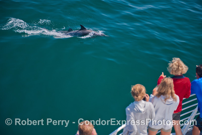 Delphinus capensis & passengers 2013 06-28 SB Channel-004