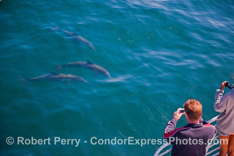 Delphinus capensis & passengers 2013 06-28 SB Channel-001