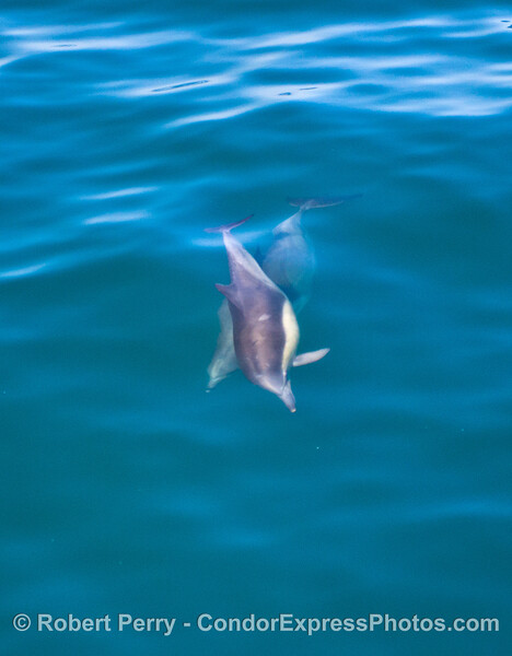 Delphinus capensis 2013 06-28 SB Channel-011