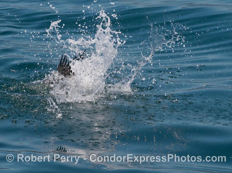 seabirds on hot spot close 2013 06-28 SB Channel-005
