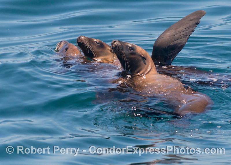 Zalophus californianus rafting 2013 06-28 SB Channel-015