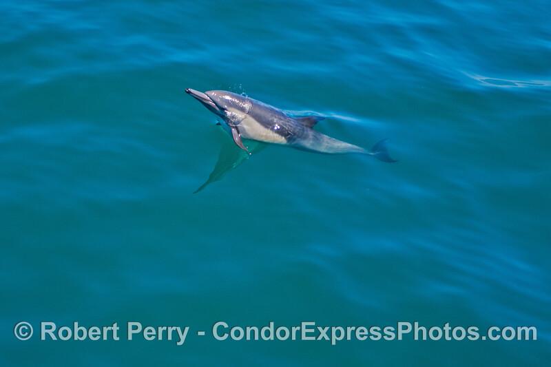 Delphinus capensis 2013 06-28 SB Channel-014