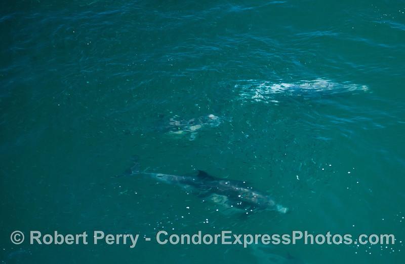 2-Delphinus capensis & Engraulis mordax school 2013 06-28 SB Channel-125