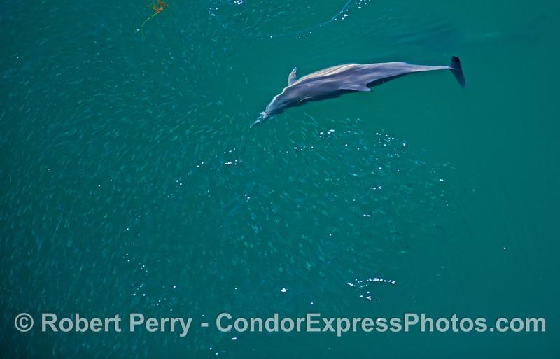 Delphinus capensis feeding on Engraulis mordax 2013 06-28 SB Channel-165