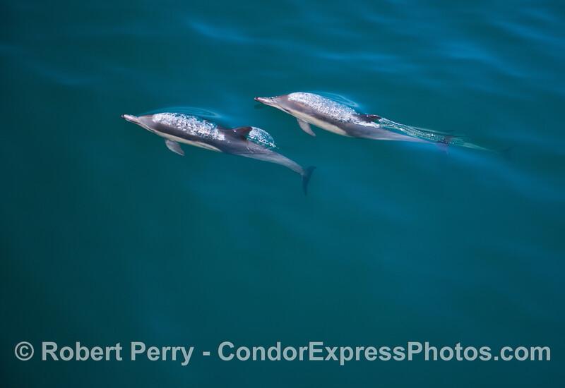 Delphinus capensis 2013 06-28 SB Channel-025