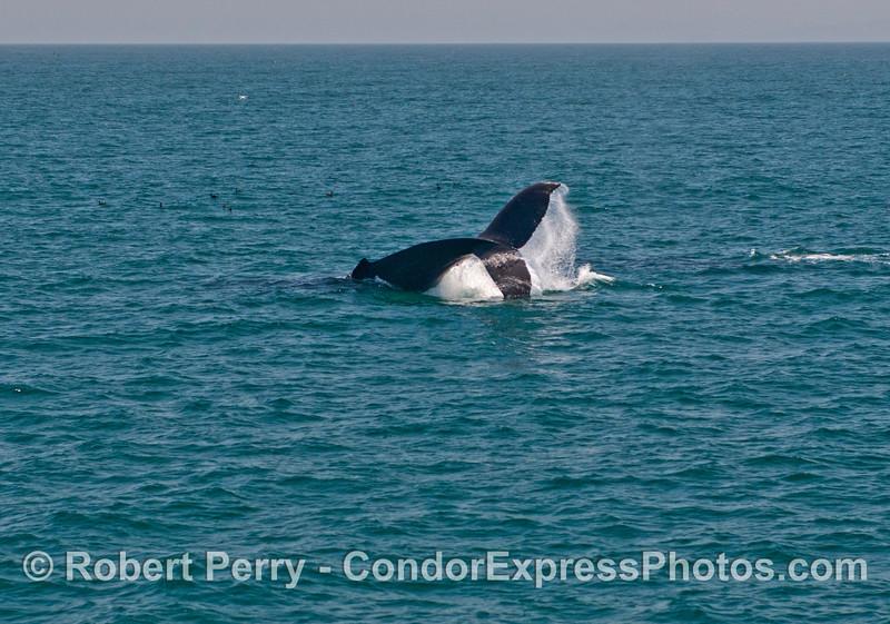 A giant humpback whale (<em>Megaptera novaeangliae</em>) throws its tail.