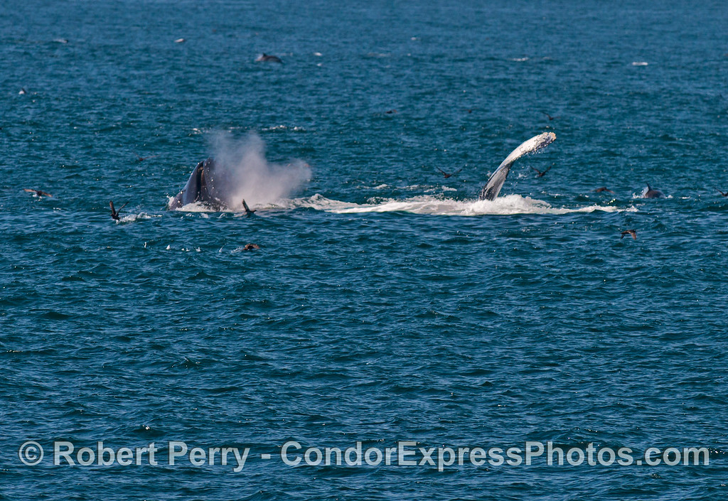 Two humpback whale (<em>Megaptera novaeangliae</em>) are seen here.  One is competing a vertical lung and spouting, the other has its pectoral fin in the air.
