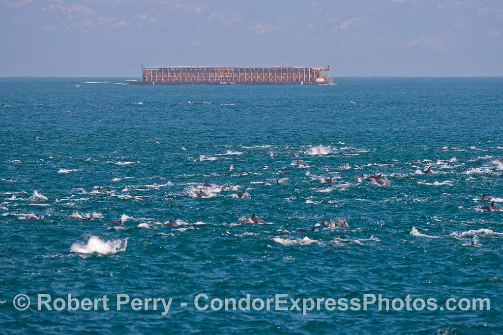 A massive herd of  long beaked common dolphins (<em>Delphinus capensis</em>) is seen in the Channel with a southbound barge full of lumber.