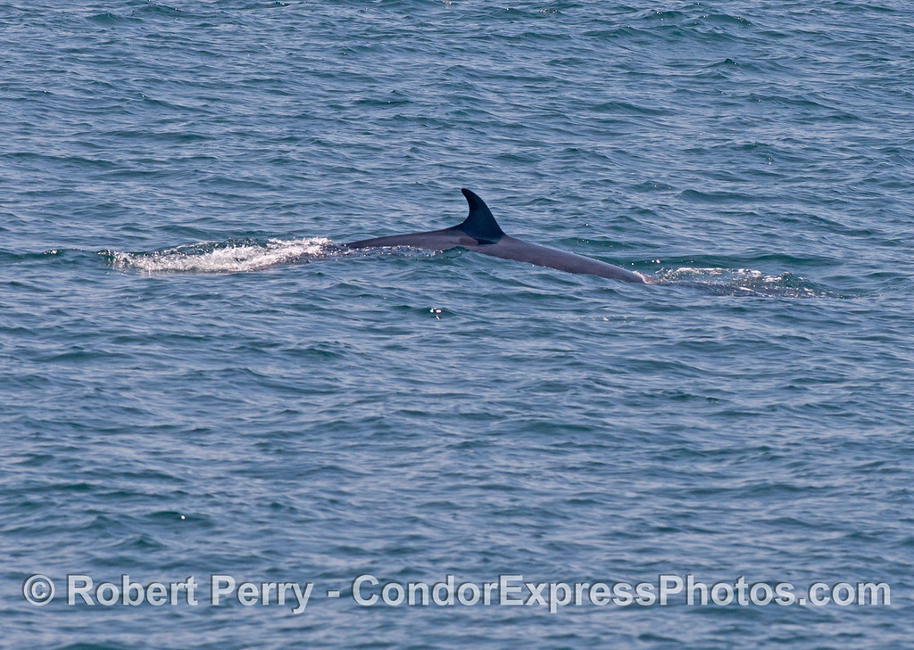 One of two shots of a very elusive Minke whale (<em>Balaenoptera acutorostrata</em>).