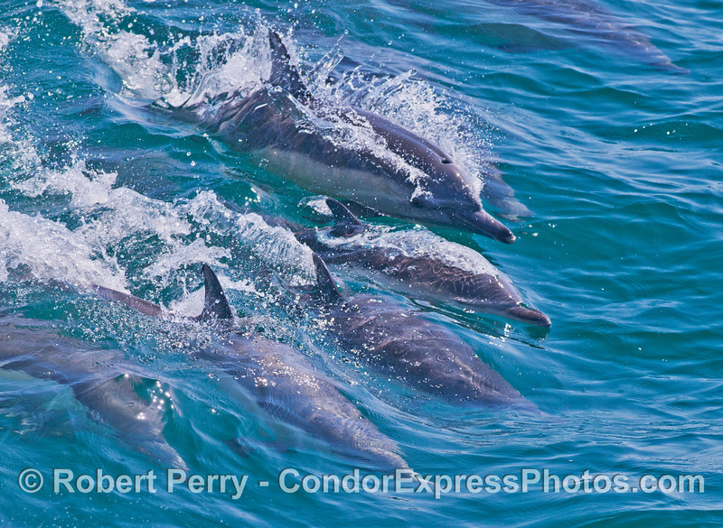 Five long beaked common dolphins (<em>Delphinus capensis</em>) go surfing.