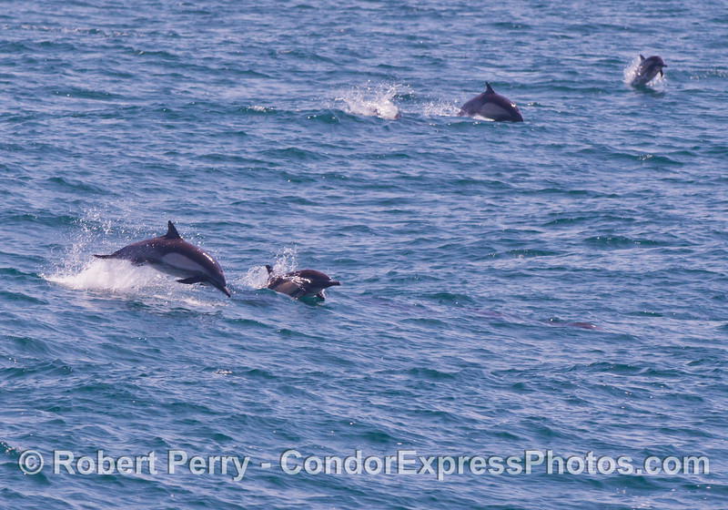 More leaping long beaked common dolphins (<em>Delphinus capensis</em>).