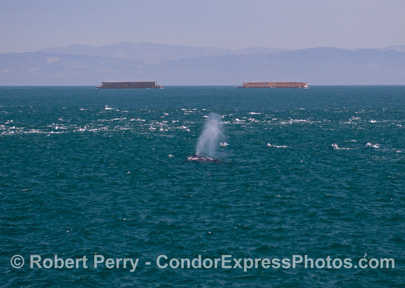 A humpback whale (<em>Megaptera novaeangliae</em>) spouts, a massive herd of common dolphins (<em>Delphinus capensis</em>) is on the move, two large lumber barges are being towed southbound, and the Santa Ynez mountains of Santa Barbara are in back.