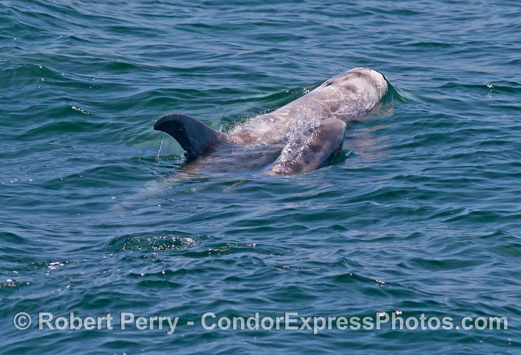 A series of nine photographs of Risso's dolphins (<em>Grampus griseus</em>) with very small calves traveling together in a nursery pod.