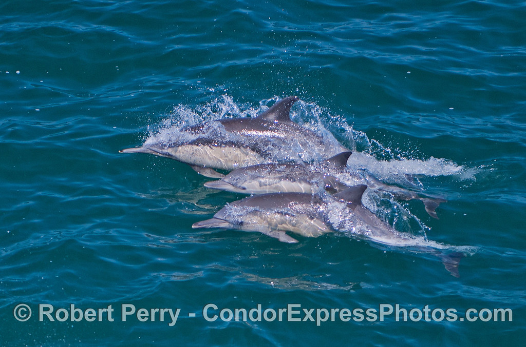 A trio of long beaked common dolphins (<em>Delphinus capensis</em>).