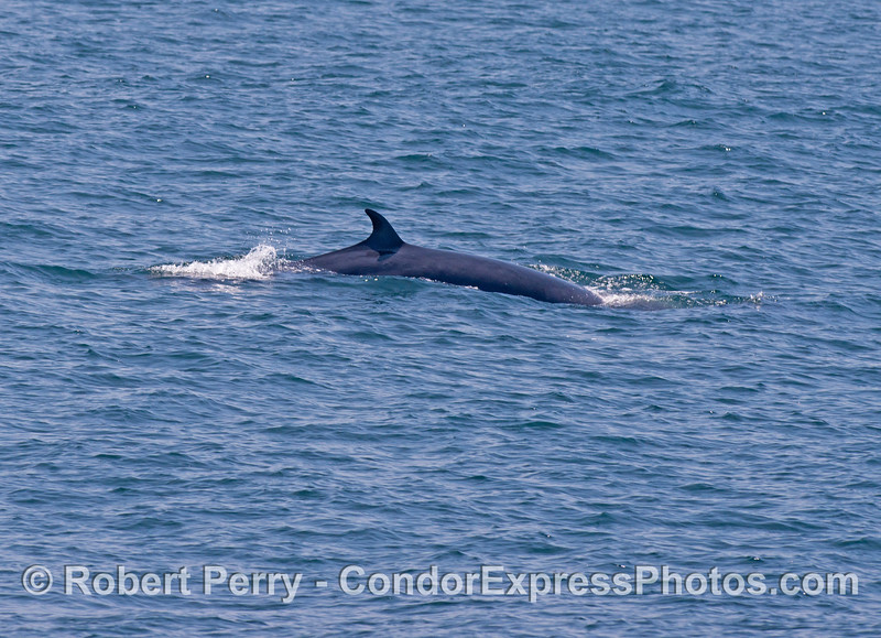 The second of two shots of a very elusive Minke whale (<em>Balaenoptera acutorostrata</em>).