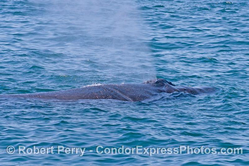 """Rope,"" the humpback whale. (<em>Megaptera novaeangliae</em>)."