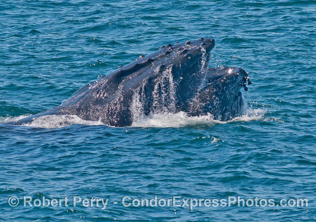 Surface lunge feeding humpback whale (<em>Megaptera novaeangliae</em>).