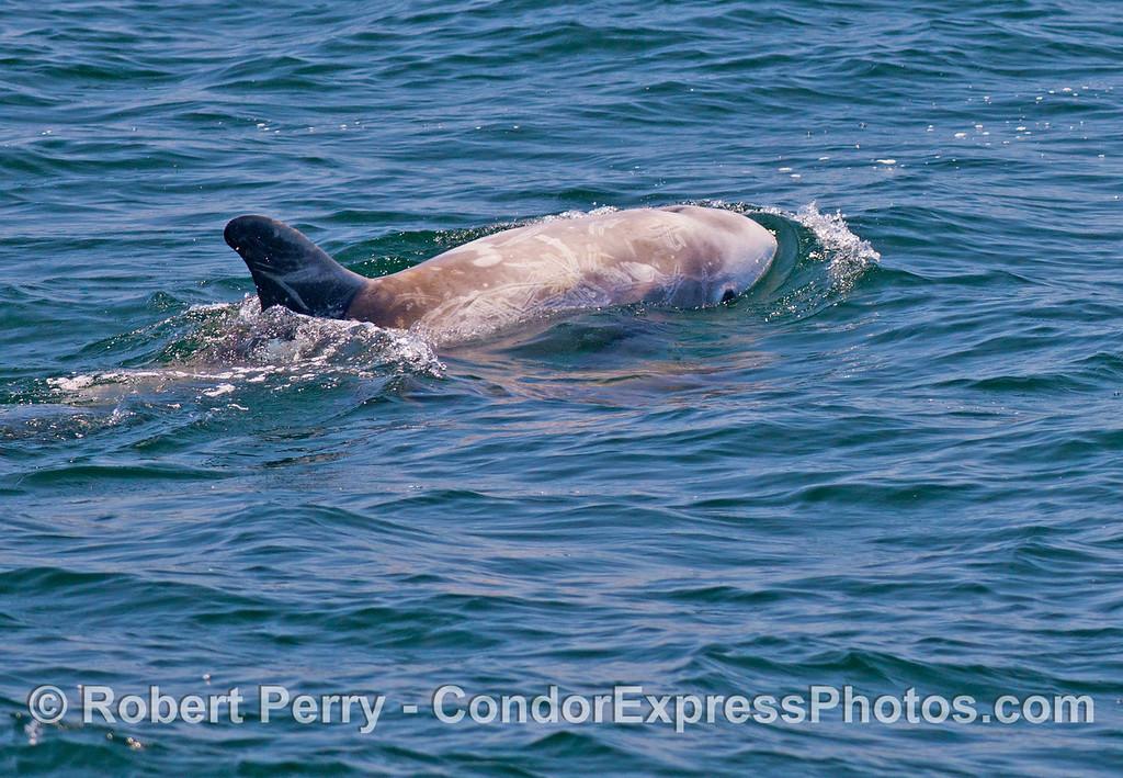 A female Risso's dolphins (<em>Grampus griseus</em>), her calf is underwater.
