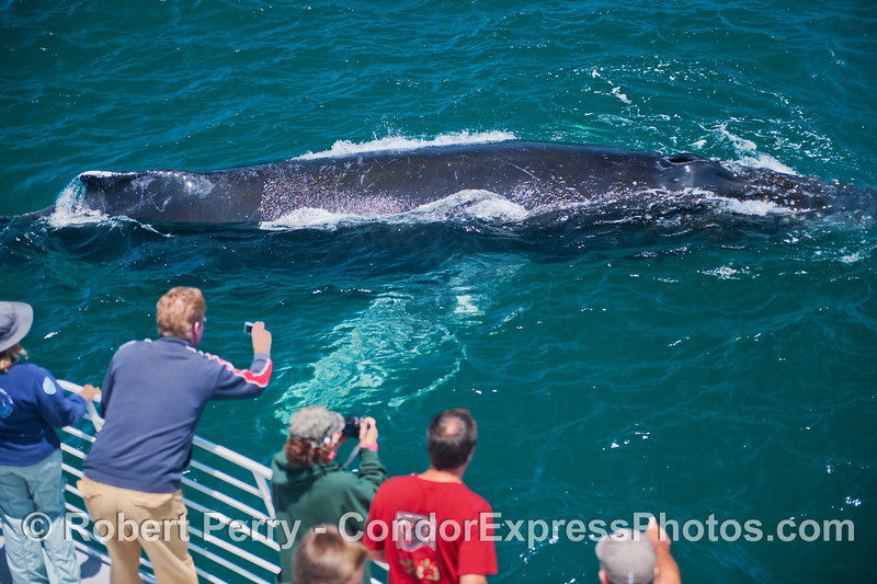 The second of three photos of a giant humpback whale (<em>Megaptera novaeangliae</em>) with bright white pectoral wings that came by the Condor Express so close you could count the barnacles on its chin.