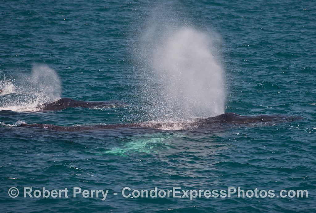 "Two humpback whales (<em>Megaptera novaeangliae</em>) spout simultaneously, including ""white pects."""