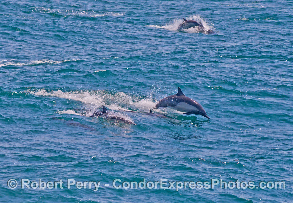 Leaping long beaked common dolphins (<em>Delphinus capensis</em>).