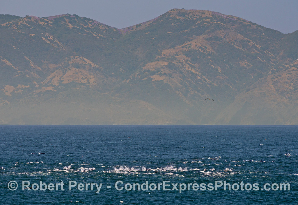 A large herd of long beaked common dolphins (<em>Delphinus capensis</em>) are framed by the tall mountains of Santa Cruz Island.