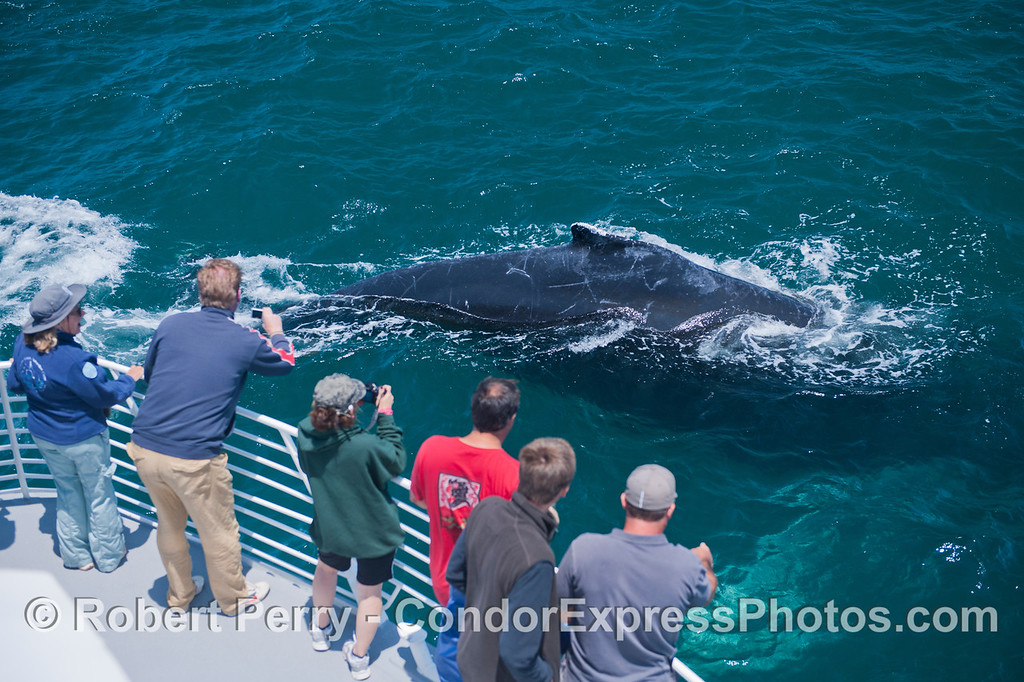 The third of three photos of a giant humpback whale (<em>Megaptera novaeangliae</em>) with bright white pectoral wings that came by the Condor Express so close you could count the barnacles on its chin.