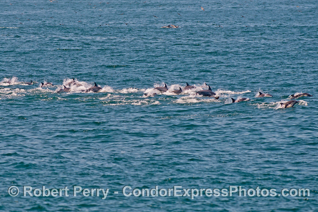 A line of long beaked common dolphins (<em>Delphinus capensis</em>).