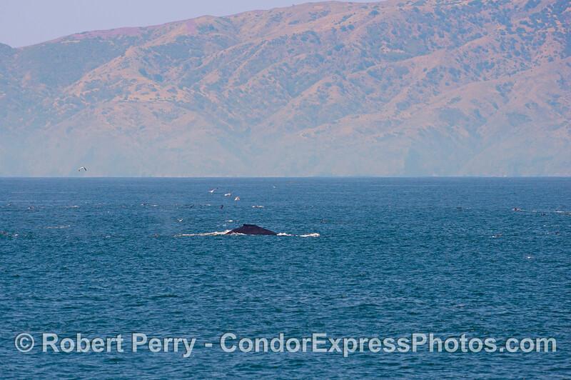 The northern face of Santa Cruz Island forms a backdrop for a humpback whale (<em>Megaptera novaeangliae</em>).