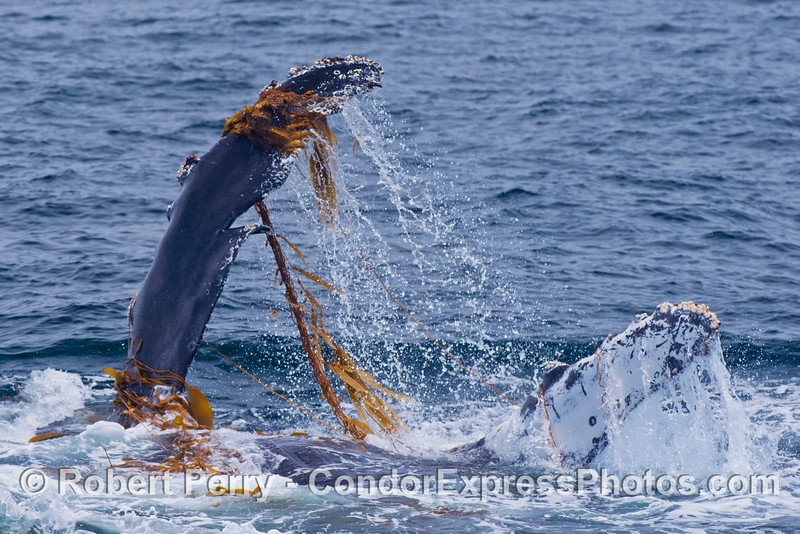 Kelping behavior - a humpback whale (<em>Megaptera novaeangliae</em>) plays around in a large drifting, detached paddy of giant kelp (<em>Macrocystis pyrifera</em>).