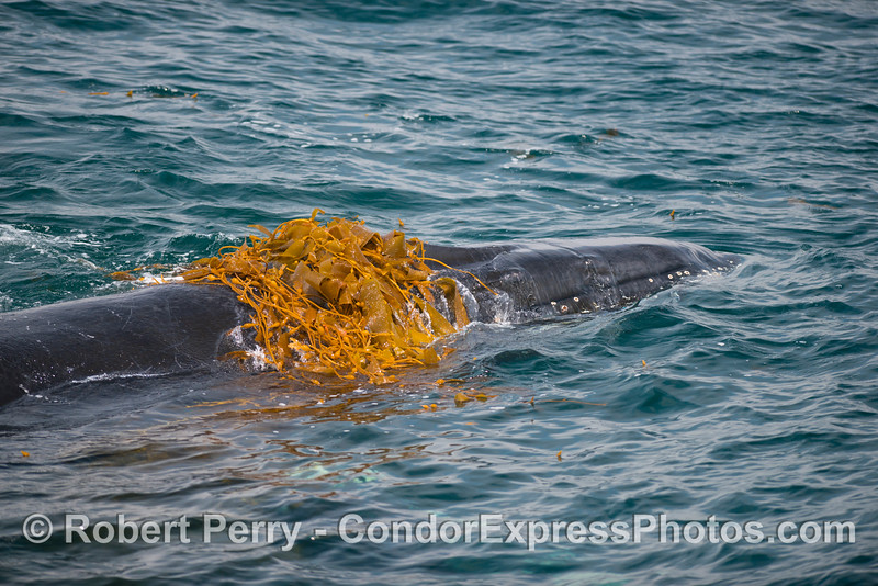 Crown of kelp -  Kelping behavior - a humpback whale (<em>Megaptera novaeangliae</em>) plays around in a large drifting, detached paddy of giant kelp (<em>Macrocystis pyrifera</em>).