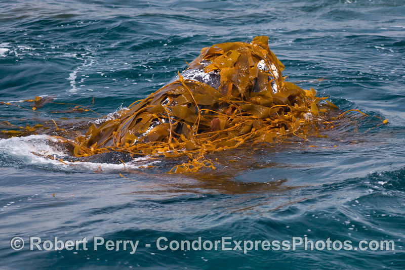 Kelp facial - Kelping behavior - a humpback whale (<em>Megaptera novaeangliae</em>) plays around in a large drifting, detached paddy of giant kelp (<em>Macrocystis pyrifera</em>).