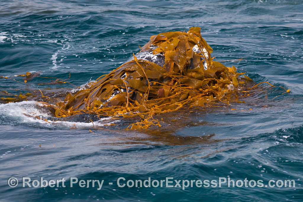 Kelp facial - Kelping behavior - a humpback whale (<em>Megaptera novaeangliae</em>) plays around in a large drifting, detached paddy of giant kelp (<em>Macrocystis pyrifera</em>).